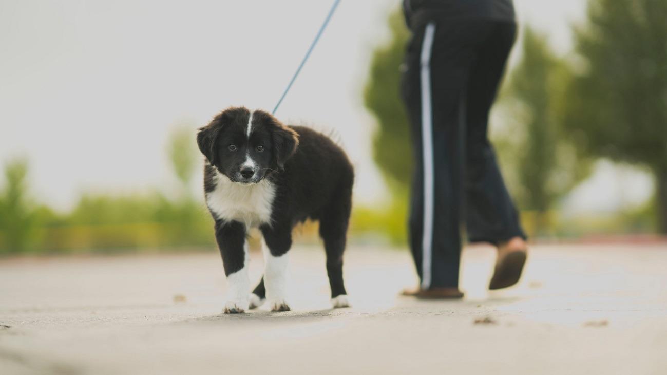 caine, animal, plimbare