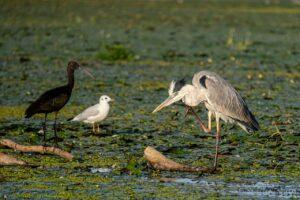 delta dunarii natura pelicani vegetatie flora fauna
