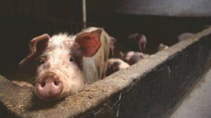 porc, carne porc, ferma porci