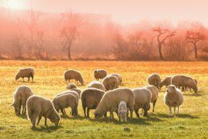 animal, oi, oaie, turma, miel. Sursa foto: pixabay.com